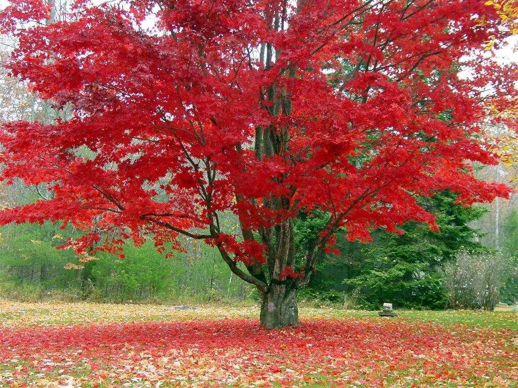 20 semillas arce rojo rubrum maple canadiense arboles for Arbol rojo jardin