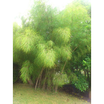 Planta De Bambu Otatea Acuminata