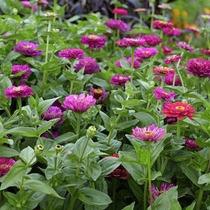 100 Semillas Zinnia Elegans Prince Purpura Flores Jardin