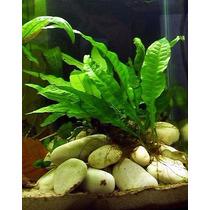 Tropica Plantas Acuaticas Microsorum Pteropus Peces