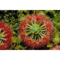Semillas Planta Carnivora Drosera Androsaceae Atrapamoscas