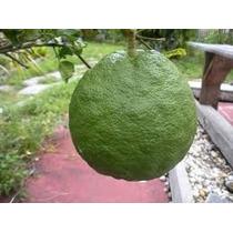 1 Arbol De Limon Real, Limon Gigante. Fruta Exotica