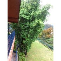 Planta De Bambu Negro - Timmor Black-