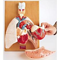 Corazon Y Organos Respiratorios. Modelo Anatómico.