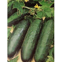 10 Gr. De Semillas De Pepino Poinsett 76 - Cucumis Sativus