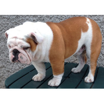 Semental Bulldog Ingles