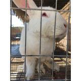 Conejos Californian