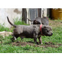 Semental American Bully