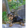 Yorkshire Terrier, Yorky