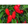 Semillas De Chile Fantasma Bhut Jolokia Rojo