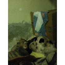 Lindos Cachorros Schnauzer Con Maltes