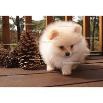 Hermosos Cachorros Pomerania, Pomeranian -bugambilias Pet