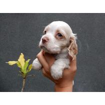 Precioso Cachorro Cocker Spaniel Americano Blanco