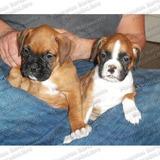 Gran Oferta Cachorros Boxer Genuinos Chatos Aptos Registro