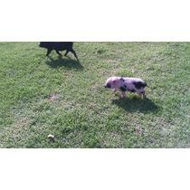 Cerdita Mini Pig Moteada Hembra