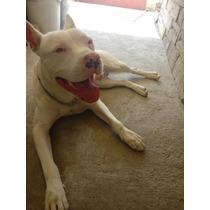 Pitbull Rednose Albino