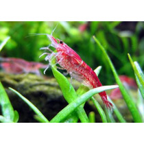 Gambas Camarones Red Cherry 5x$150