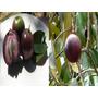 Arbolito De Caimito Exotico Chrysophyllum Cainito