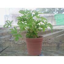 1 Planta De Citronella - Medicinales Plantas Venta Aqui