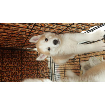 Vendo Cachorritos Alaskas Malamute Ya A Buen Precio !!!!!