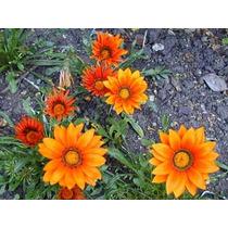 27 Semillas De Gazania (mezcla Flor) $39 Pesos Codigo 507