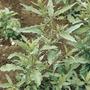 1 Lb Semillas Epazote Organico - Chenopodium Ambrosioides