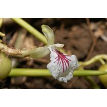 10 Semillas De Elettaria Cardamomum (cardamomo) Codigo 215
