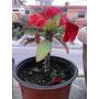 1 Planta Euphorbia Mili O Corona De Cristo Planta Exotica.