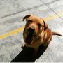 Labrador Para Cruza Toluca