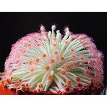 Drosera Derbyensis - Pulpo Planta Petiolaris-complex Carnívo
