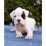 Perros Boxer $2000 C/u. Primera Camada Originales