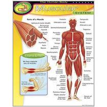 Poster Sistema Muscular Humano Inglés 43x55cm Lámina Trend