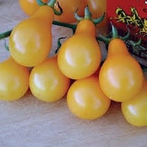 50 Semillas Tomate Jitomate Pera Amarillo Hortaliza Huerto