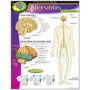 Poster Sistema Nervioso Humano Ingl�s 43x55cm L�mina Trend