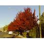 Encino Rojo (quercus Rubra) Plantas $15.00c/u
