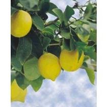Arbol De Limon, Limonero