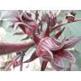 1 Libra Semillas De Jamaica Organica (hibiscus Sabdariffa)
