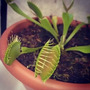 Semillas De Planta Carnivora Venus Gigante