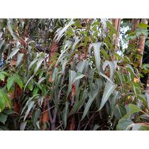Brachychiton Populneus, Grande -arbol De Australia-
