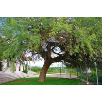 Árbol De Mezquite