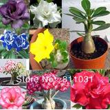 20 Plantas Rosas Del Desierto Adenium Obesum De 15 Cm