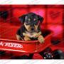 Gran Oferta Cachorros Pinscher Dobermann Miniaturas Cpr Fcm