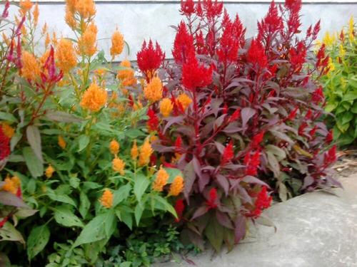 50 semillas pampas plume mix anual celosia ornamental jardin. Black Bedroom Furniture Sets. Home Design Ideas