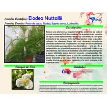 Planta Acuatica Elodea Media Docena