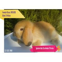 Conejos Belier Enano Color Miel