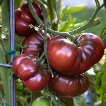 20 Semillas Jitomate Tomate Brandywine Negro Huerto Vegetale