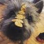 Renta De Semental Cairn Terrier