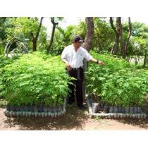 3 Plantas 30 Cm C/u Moringa De Cultivo Organico $ 250.00