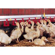 Corrida Financiera Para Proyecto De Engorda De Patos