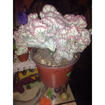 Cactus Exótico Euphorbia Lactea Cristata Variegata